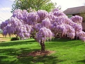 дърво глициния