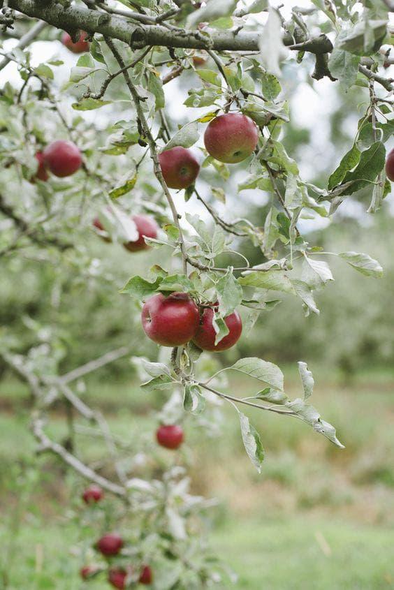 Ябълково дърво