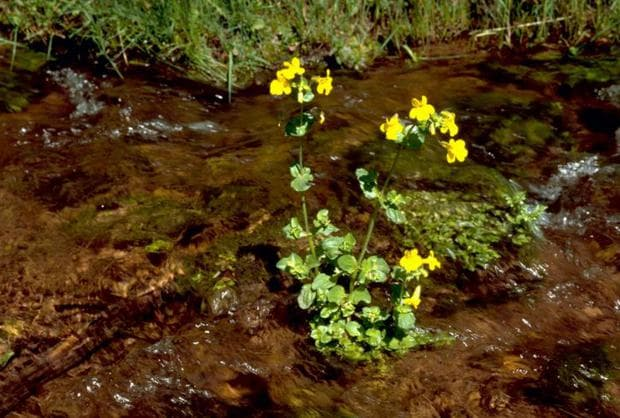 разпространение на жълто маймунско цвете