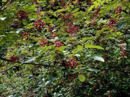 американски зантоксилум растение