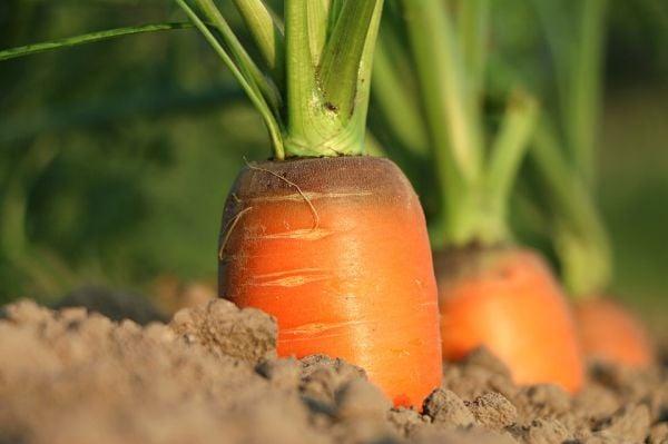 Засадете моркови до лука, за да прогонят луковите мухи.