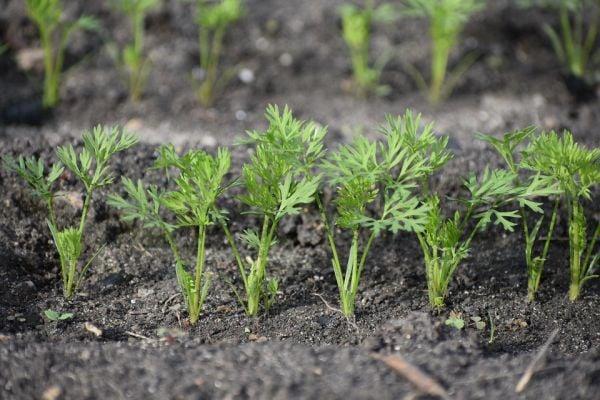 Засадете семената моркови на разстояние едно от друго и на осветено от пряка слънчева светлина място.