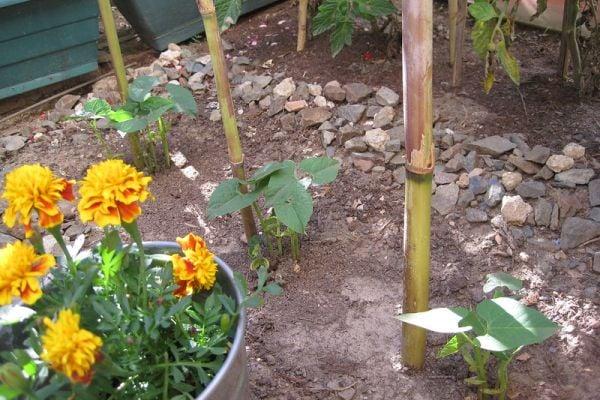 Засадете тагетис между доматите и краставиците, за да ги предпазите от вредители.