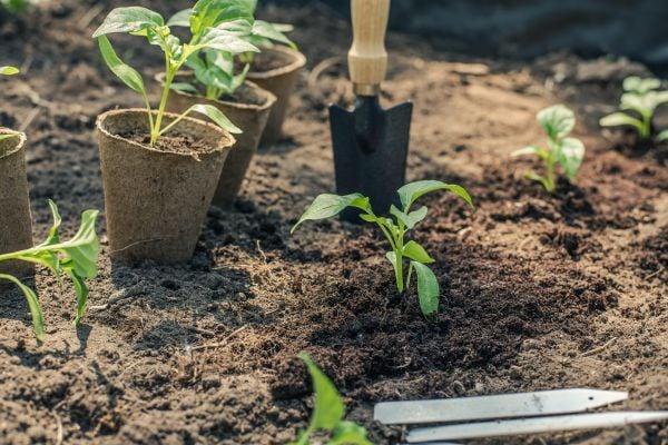 Засаждане на пипера в градината.