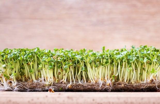 Засаждане на семена от мента