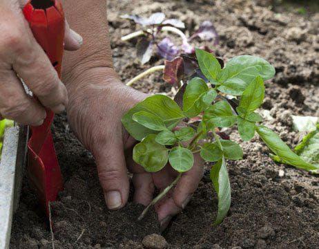 Засаждане в градината