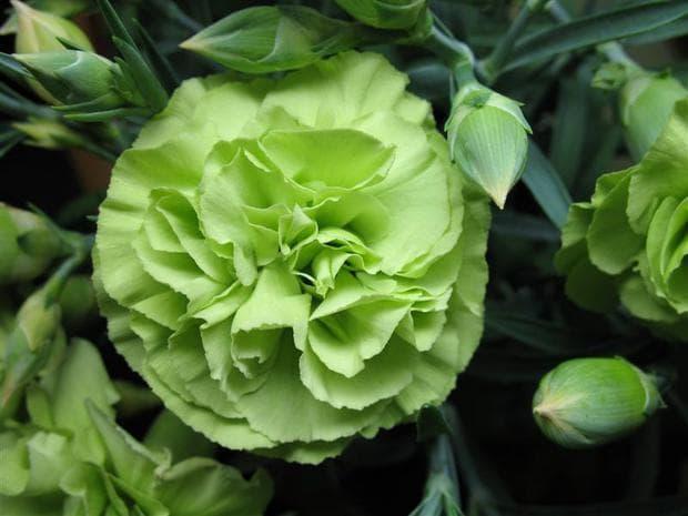 зелен градински карамфил