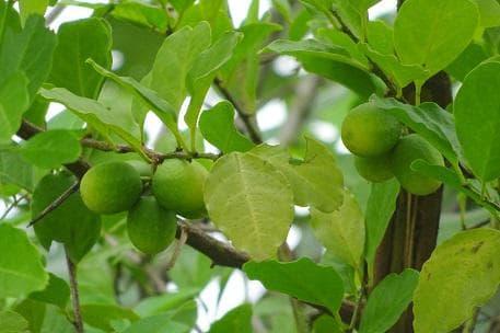 зелена ксимения