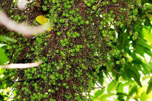 зелени плодове на фикус хиспида