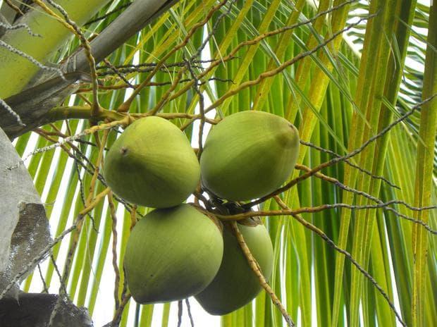 зелени кокосови орехи