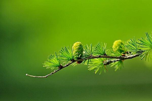 Зелени шишарки