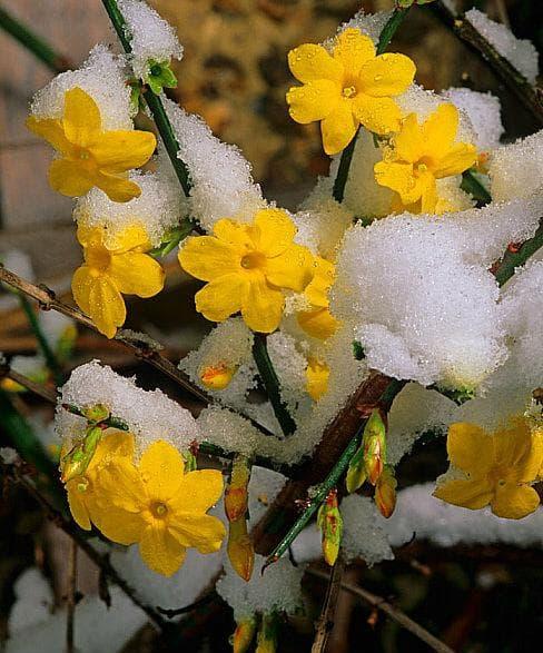 цветове на зимен жасмин