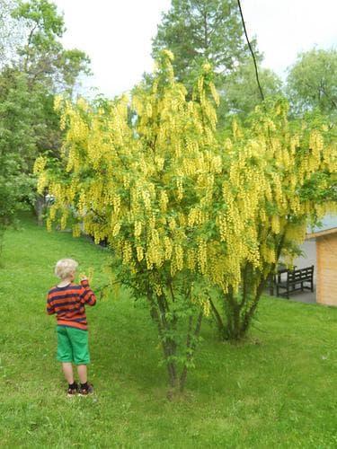дърво златен дъжд