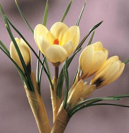 При златистоцветния минзухар по-голяма част от стъблото е покрито с ципа, която израства от луковицата