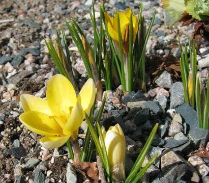 Златистоцветният минзухар се развива успешно дори върху нископлодородни почви