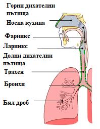 дихателни пътища