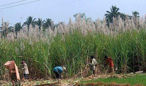 бране на захарна тръстика