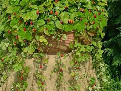 декорация с горска ягода