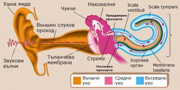 Механизъм на звукова рецепция