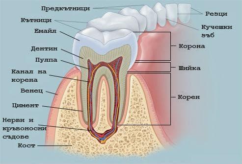 Устройство на зъба