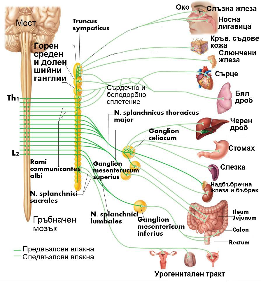 Клонове на симпатиковия ствол | Анатомия