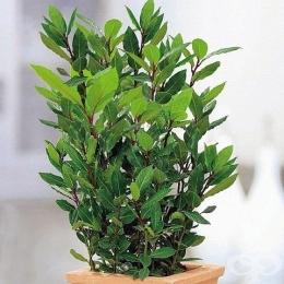 Как да си отгледаме лаврово дърво за полезен домашен дафинов лист? - изображение