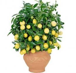 Как да си захванем лимон от семка? - изображение
