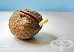 Яжте покълнали орехи за подмладяване, пречистване и подсилване на имунитета - изображение