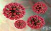 Рубеола вирус