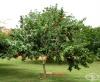 Аки, Ямайски плод
