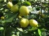 Седра, Цитрон, Сладък лимон от Корсика