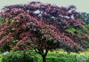 Юлибрисинова албиция, Копринено дърво