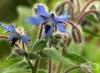 Пореч, Бораго, Лечебна краставица, Вълчо цвете