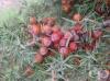 Червена хвойна