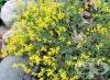 Жълтуга, Багрилна жълтуга, Бояджийска жълтуга, Цветило, Типец
