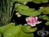 Водна лилия, Бяла водна лилия, Лотос, Водна роза, Русалка