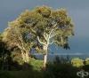 Пигеум, Африканска череша, Aфриканско сливово дърво