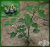 Черно кучешко грозде