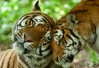 Популацията на тигри в света се е увеличила