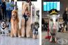 Весела бригада от 22 кучета и 1 прасе успокояват пътниците на летище в Сан Франциско