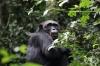 Иля Иванов и неговият ужасяващ опит да създаде хибрид между човек и шимпанзе