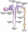 Тубулна система на нефрона