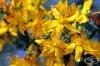 Запознайте се с 3 здравословни ползи на жълтия кантарион