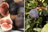 Как да си захванем смокиня от клонче (първи стъпки)