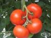 Срещу гниене пръскайте доматите с айрян, вместо син камък