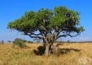 Кигелия, Колбасово дърво