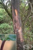 Африканска палма - джудже, Африканско сливово дърво, Прунус