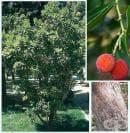 Ягодово дърво, Арбутус