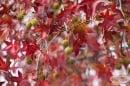 Амброво дърво, Ликвидамбър, Американска сладка дъвка