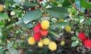 Ягодово дърво, Арбутус, Кумарка